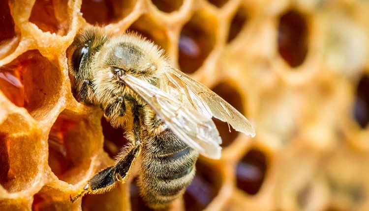 تست کرونا با استفاده از زنبور عسل به همت استارتاپ هندی !